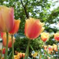春のブッチャートガーデンは美しいチューリップ祭り(カナダワーホリの思い出語り)